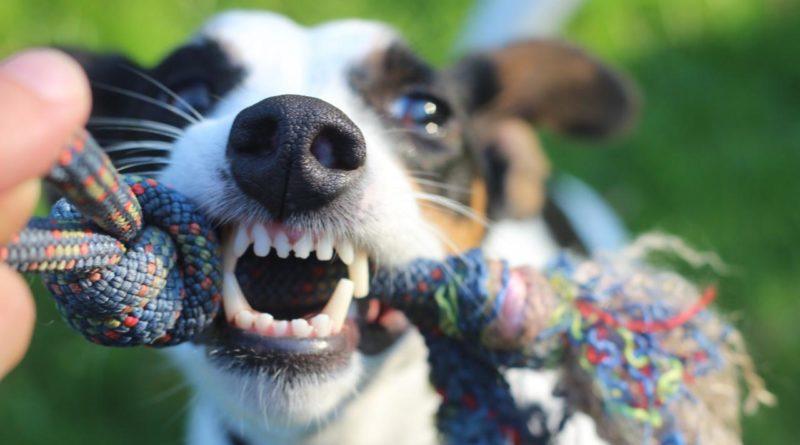 La rabia en los perros
